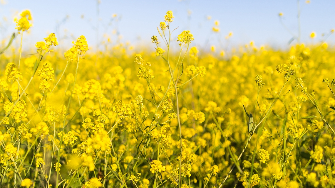Närbild på blommande rapsfält - Technical Products - AAK
