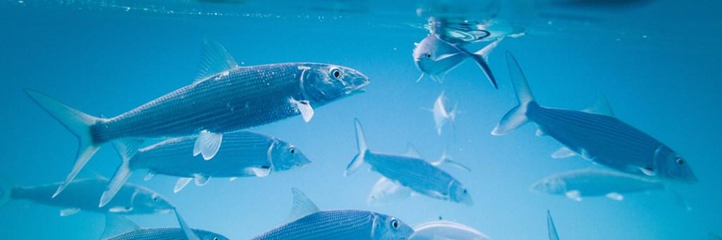 Fishes underwater - Animal Nutrition - AAK