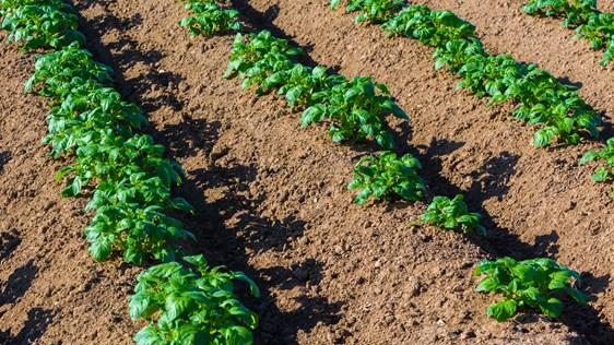 Potatisplantor i rad på solbelyst odlingsfält - Technical Products - AAK