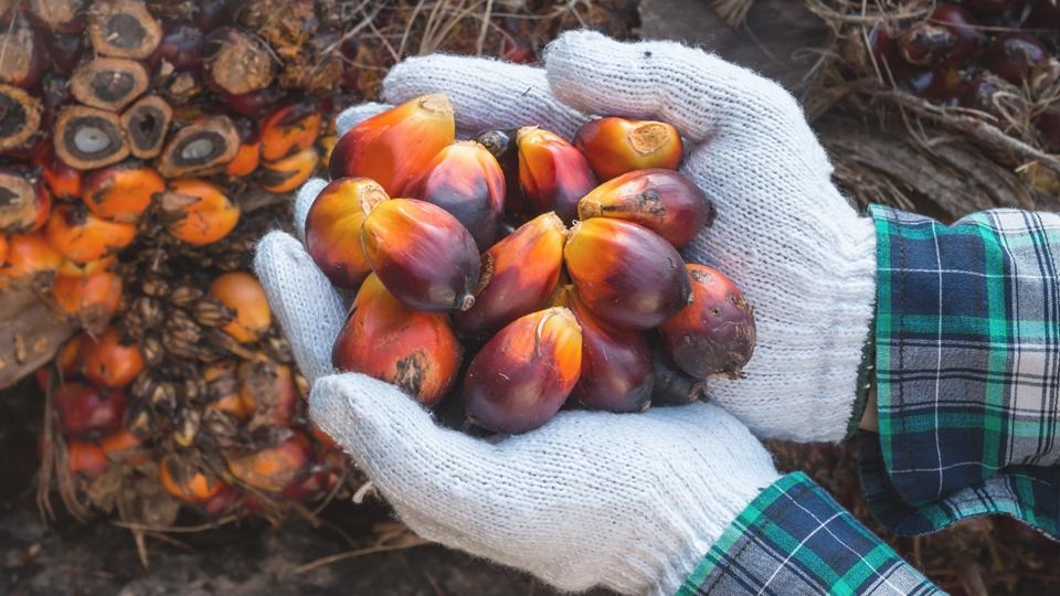 Palmoljefrukter i manlig arbetares hand - Om oss - AAK