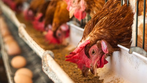 A hen eats food from a tray in a poultry-house - Animal Nutrition - AAK