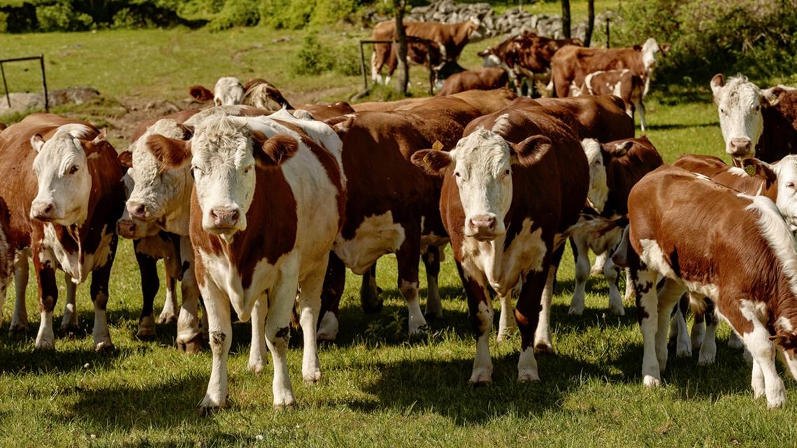 En flock kor på ett fält - Foder - AAK