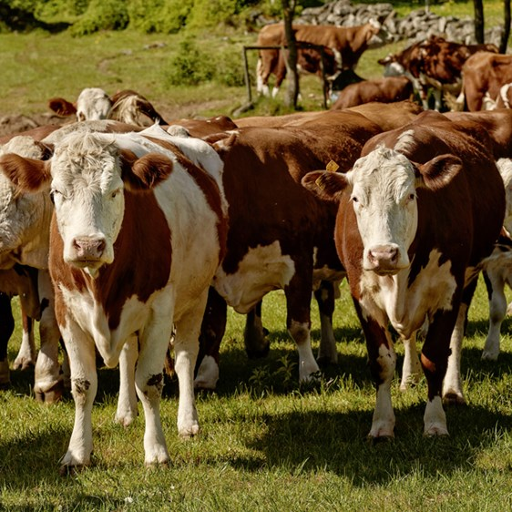 A herd of cows in a field - Animal Nutrition - AAK