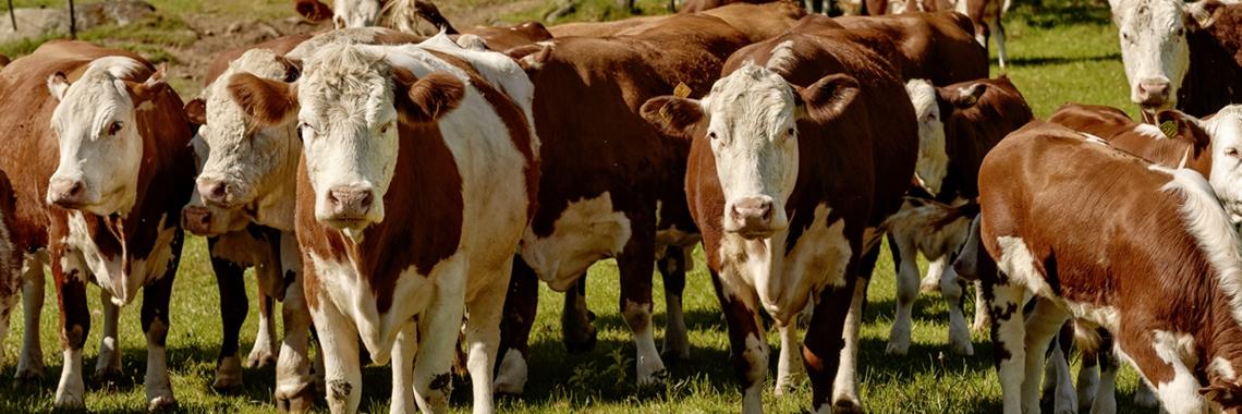 A herd of cows in a field - Animal Nutrition - AAK
