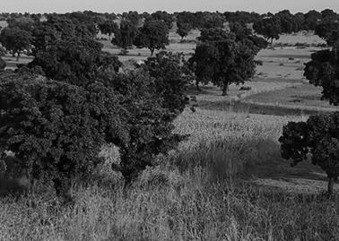 Træerne vokset vildt. Indsamlingen af sheafrugter foregår ved håndkraft.