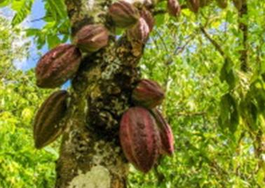 Kakaotræ.
