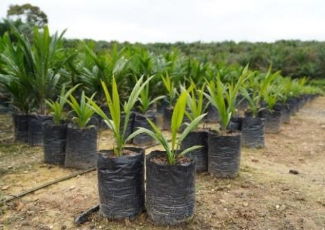 AAK er i mange år gået forrest for at fremme dyrkning og anvendelse af bæredygtige palmeolier.